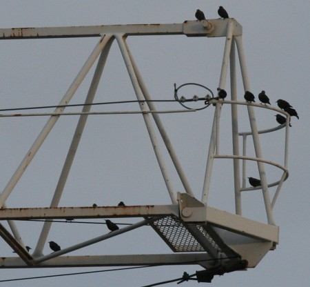 fifteen-starlings-and-a-crane