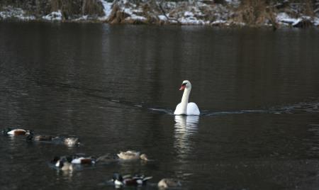 swan-and-shovelers