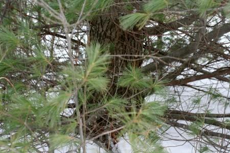 white-pine-ground-level