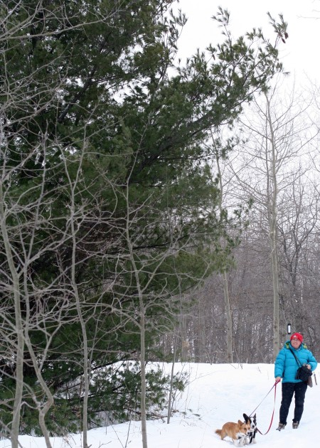 white-pine-with-admirers