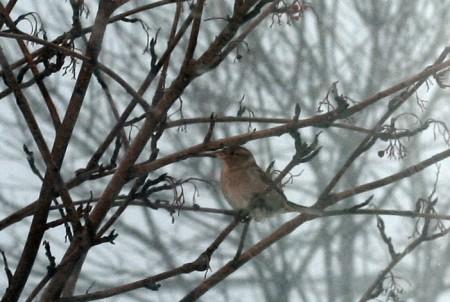 she-sparrow1