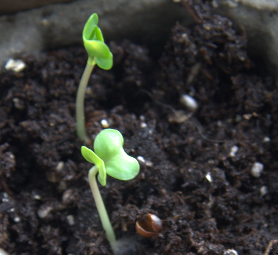 how to grow brussel sprout seedlings